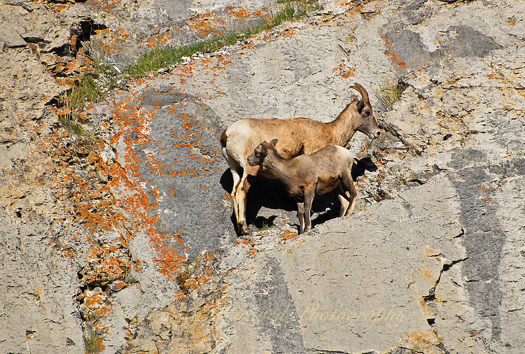 Big Horn ewe and her baby high in the cliffs in Jasper National Park Alberta Canada