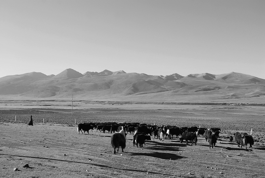 Beautiful black and white photograph of mountains and herds feeding by the open land. Nature photography by Paul Chong.