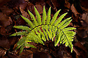 Backit fern frond, Inverness-shire. Scotland, November.