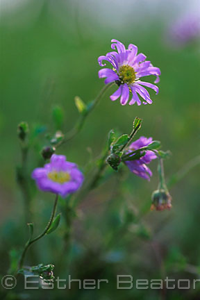 Purple Burr Daisy (Calotis cymbacantha), a native flower. Gundagai-Junee area. New South Wales