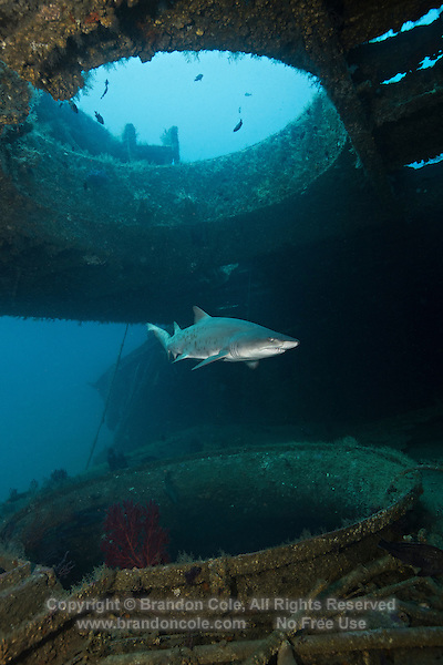 TP0473-D. Sand Tiger Shark (Carcharias taurus) at 90 feet deep, swimming slowly between the decks of the shipwreck of the Aeolus. Most of the sharks seen on North Carolina wrecks are female. This species exhibits the ovoviviparous reproductive mode, and is embryophagous. After having developed inside eggs in the uterus and cannibalizing their siblings for nourishment, the two strongest pups are born live at about 3 feet long after an 8 to 10 month gestation period. North Carolina, USA, Atlantic Ocean.<br /> Photo Copyright &copy; Brandon Cole. All rights reserved worldwide.  www.brandoncole.com