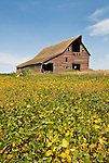 Wethered red wooden barn, soybean crop in the field, North Dakota