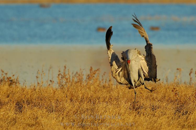 Sandhill Cranes Comical Sunset Landing Bosque del Apache Wildlife Refuge New Mexico