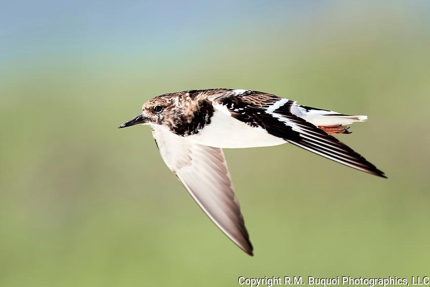 Ruddy Turnstone in flight