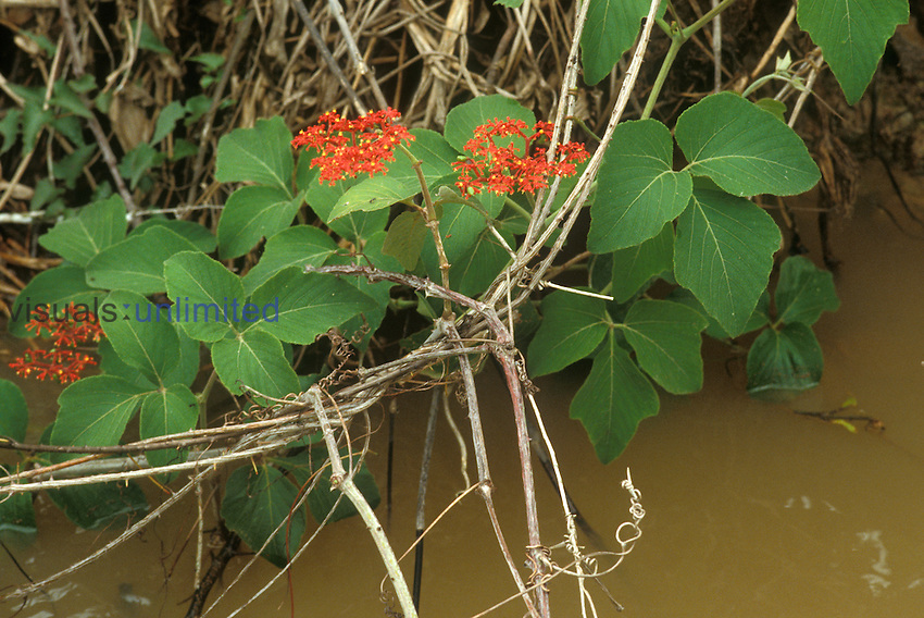 Cissus sp., family Vitaceae, a vine growing in the Pantanal swamps in Mato Grosso, Brazil