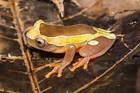 Espécie: Dendropsophus leucophyllatus (Beireis, 1783)<br /> Nome - inglês: White-leaf Frog<br /> .<br /> A perereca-de-moldura é comum em toda a bacia amazônica, sendo encontrada em áreas alagadas da região. A espécie é tolerante à poluição e modificações do ambiente, sendo encontrada em ambientes urbanos. Estudos recentes sugerem que as pererecas-de-moldura amazônicas representam na verdade diversas espécies, mas as populações do Brasil ainda precisam de mais estudos.<br /> .<br /> Imagem feita em 2017 durante expedição científica para a região do Lago Tefé, Tefé, Amazonas, Brasil. A expedição, financiada pelo  Conselho Nacional de Desenvolvimento Científico e Tecnológico, teve o abjetivo de reencontrar espécies de anfíbios descritas pelo explorador Johann Baptist von Spix no ano de 1824.