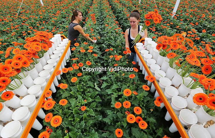 Foto: VidiPhoto<br /> <br /> BRAKEL - Oranje gerbera scoort goed. Fans van het Nederlands elftal zetten op dit moment volop de bloemetjes buiten. Bloemenkweker Marius Mans uit Brakel in de Bommelerwaard profiteert volop mee van die euforie. De oranje gerbera's zijn op dit moment niet aan te slepen in de bloemenwinkels. Er is nu dubbel zo veel vraag en de prijs is tweetal zo hoog. De bloemenmeisjes van Mans moeten daarom maandag flink aanpoten om aan de grote vraag tegemoet te komen. Enige nadeel is dat de groei van bloemen (en daardoor de snelheid van oogsten) afhankelijk is van de hoeveelheid zonlicht. Mans heeft daarom ook Braziliaanse temperaturen nodig.