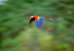 Scarlet macaw in flight, Tambopata River region, Peru