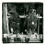 JULY 2000  --  JAKARTA, INDONESIA.  A pair of Brahminy kites sit perched with their legs tied to their perch for sale at Pasar Barito. .