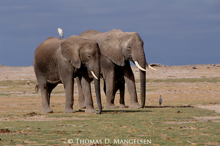 """As they ride on the backs of their massive chauffeurs, cattle egrets benefit from the consummate """"free ride"""" from African elephants in Amboseli National Park, Kenya."""