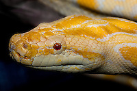458000002 portrait of a captive albino burmese python python molorus bivitatus wildlife rescuea captive albino burmese python python molorus bivitatus wildlife rescue