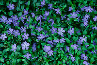 Vinca rosa blooms on the green carpet of ground cover