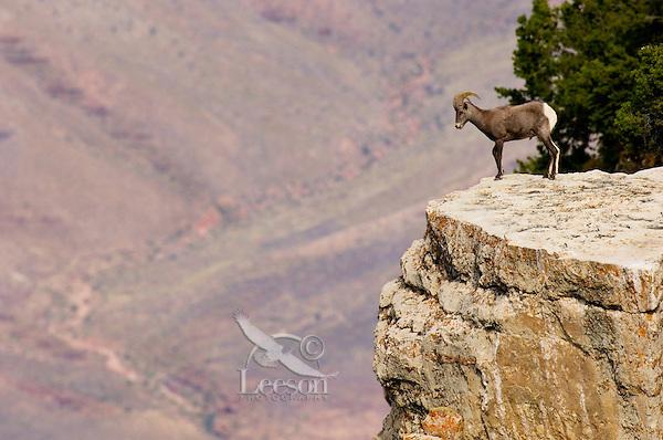 Desert Bighorn Sheep--young ram.  Grand Canyon National Park, Arizona.