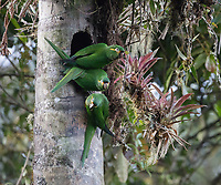 Yellow-plumed Parakeet; Leptosittaca branickii; at nest cavity in wax palm stump; Ecuador, Prov. Zamora-Chinchipe, Tapichalaca Biological Reserve