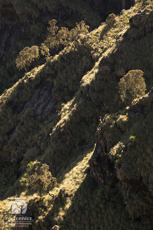 Walia Ibex on the steep mountain slopes of the Simien Mountains