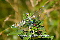 06361-005.10 Common Green Darner (Anax junius) female, Marion Co. IL