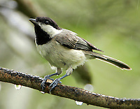 Adult Carolina chickadee with seed