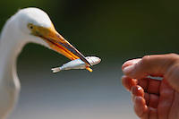 Great Egret (Ardea alba modesta), Eastern subspecies, taking fish out of hand of wildlife biologist