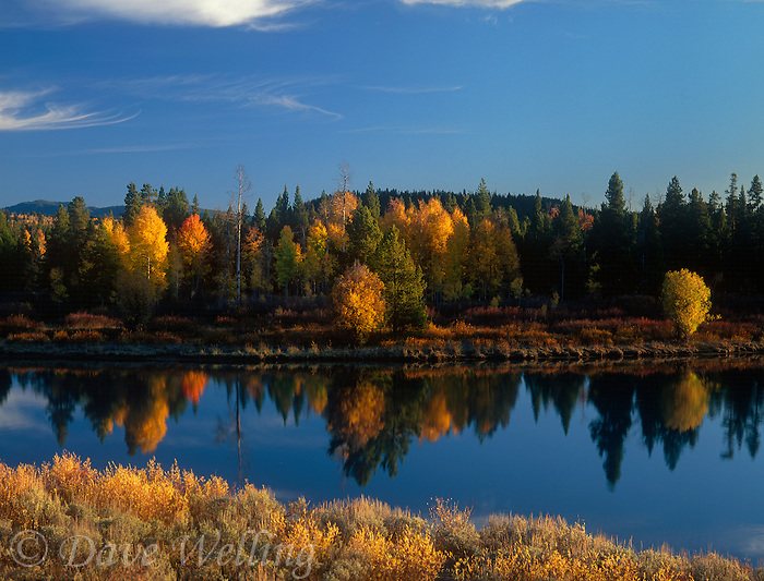 749450358 sunset light accentuates the fall colored yellow aspen trees populous tremuloides and willows along the snake river in grand tetons national park wyoming