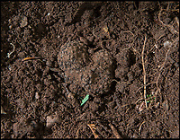 BNPS.co.uk (01202 558833)<br /> Pic: PhilYeomans/BNPS<br /> <br /> The truffles are very hard to spot in the earth.<br /> <br /> A lucky gardener is thought to have become the first person in Britain to stumble upon an abundant source of the prized black truffle - also known as 'chef's gold'. <br /> <br /> Sharp eyed Steve Fletcher (60) was digging around an oak tree at a secret location near Dawlish in Devon, when he discovered a potential goldmine of the edible fungi.<br /> <br /> The elusive ingredient is normally only found in wooded areas of France, Italy and Spain, and it's rarity, flavour and aroma make it extremely valuable, with prices reaching &pound;2000 a kilogram.<br /> <br /> Mr Fletcher is now keeping the exact location of his untapped source top secret to avoid any opportunistic foragers.  <br /> <br /> After his find he was unsure what to do so opened his Michelin Guide and contacted his nearest upmarket restaurant - Ode in Shaldon run by head chef Tim Bouget.