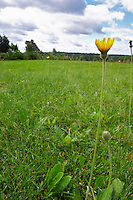 A lawn with a Hawkweed Pilosella officinarum flower. Smaland region. Sweden, Europe.