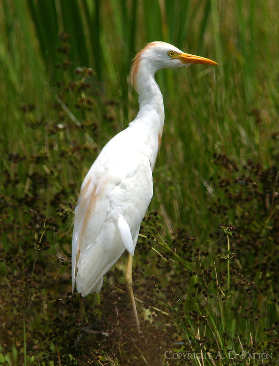 Cattle egret adult breeding standing in field