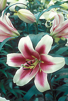 Lliy Altari in red and white flowers (Oriental x Trumpet hybrid lily)