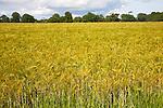 Field with growing barley crop in summer, Shottisham, Suffolk, England, UK