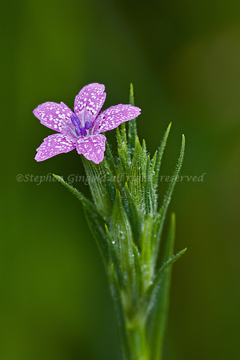 A lovely Deptford Pink stem.