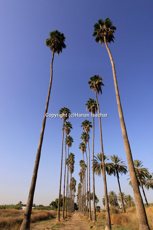 Israel, Beth Shean Valley, Washington Palm (Washingtonia robusta) trees in Kibbutz Tirat Zvi
