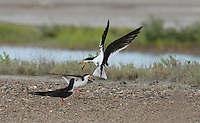 Black Skimmer (Rynchops niger), adults in flight fighting at colony, Port Isabel, Laguna Madre, South Padre Island, Texas, USA