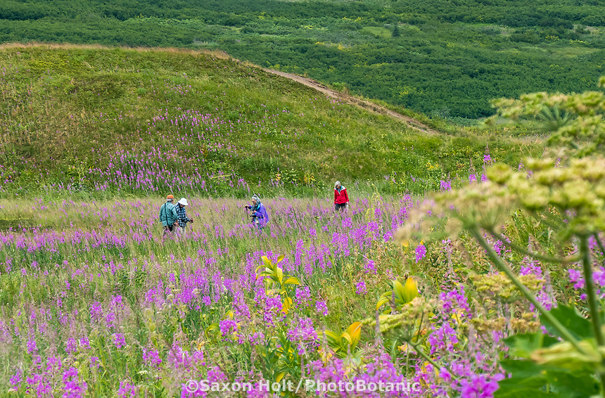 Summer wildflowers at Turnagain Pass in Chugash National Forest on Kenai Peninsula, Alaska