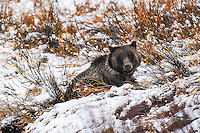 A young Grizzly Bear guards a moose carcass after the first snow fall of the season on Togwotee Pass near Grand Teton National Park.
