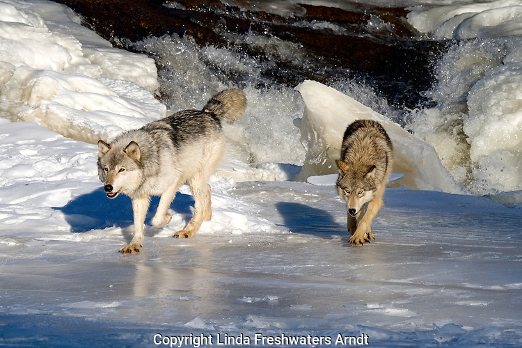 Two wolves (Canis lupus) walking on the ice