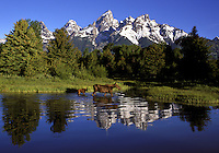A mother and baby moose wander the wetlands below the Teton mountain range in Grand Teton National Park.