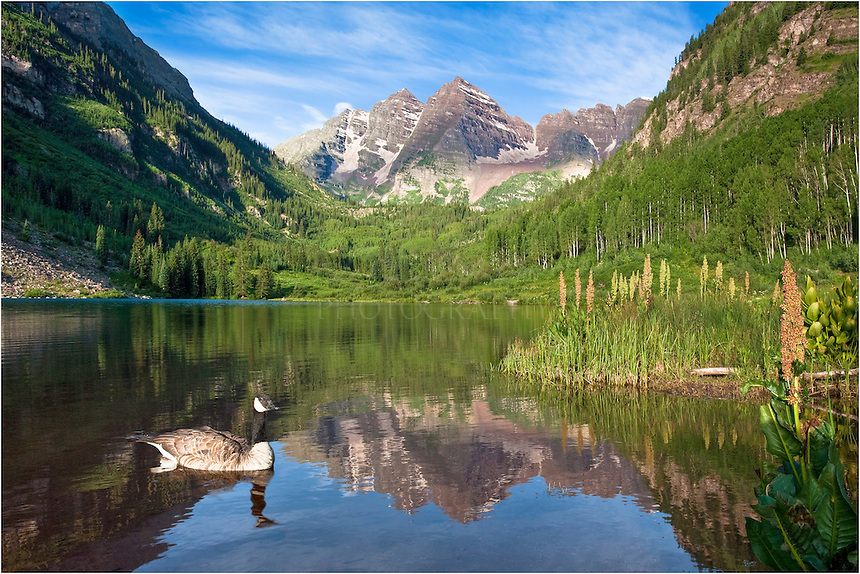 The Maroon Bells are some of Colorado's most photographed images. In this Colorado picture, I was fortunate to capture a Canadian Goose that was swimming in the early morning hours just after sunrise.