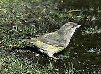 Parrot Crossbill - Loxia pytyopsittacus