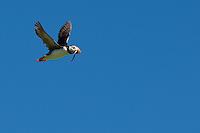 Papageitaucher, Papageientaucher, im Flug mit erbeutetem Sandaal, Fisch, im Schnabel, Flugbild, fliegend, Papagei-Taucher, Fratercula arctica, Atlantic puffin, Vogelfels, Vogelfelsen