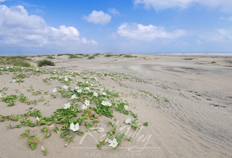 Texas, South Padre Island, Beach Morning Glory (Ipomoea imperati)