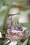 La Jolla, California; a female Anna's Hummingbird (Calypte anna) sitting on the edge of her nest feeding her two newly hatched chicks