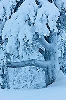 Europe/Finlande/Laponie/Levi: Arbre en hiver dans la forêt de la Montagne de Levi