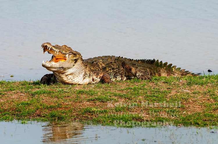 "Mugger crocodile (Crocodylus palustris = ""crocodile of the marsh""), also called the Indian, Indus, Persian, marsh crocodile or simply mugger, is found throughout the Indian subcontinent and the surrounding countries. Udawalawe National Park - Sri lanka."