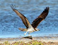 Osprey flying with catfish
