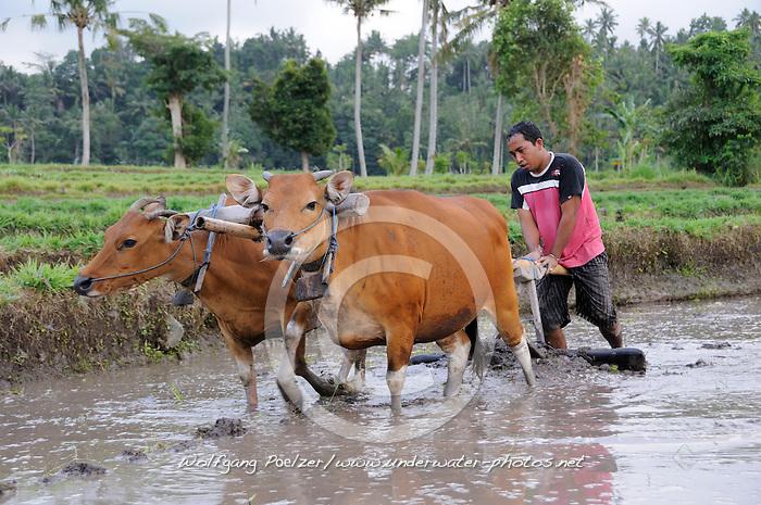 Bauer pfluegt ueberflutetes Reisfeld mit Hilfe von 2 Rindern, Rice Cultivation with cows and plough, Bali, Amlapura, Indonesien, Indonesia Asien,  Asia