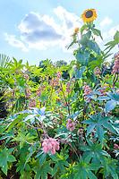 France, Loiret (45), Chilleurs-aux-Bois, château de Chamerolles et jardins d'inspiration renaissance, ici, carré d'ambiance estival ou dominent, ricins (Ricinus communis) et tournesol (Helianthus annuus)