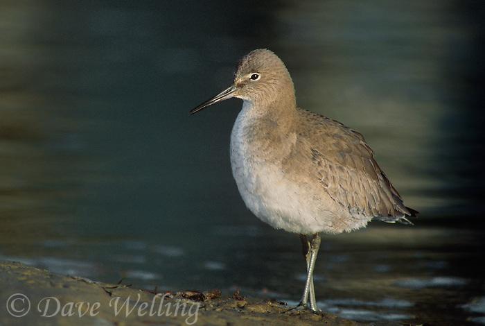 577287502 a wild adult sanderling calidris alba stands on the shoreline of an estuary in santa barbara county california