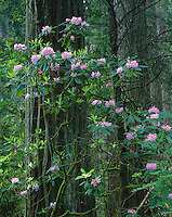 Del Norte Coast Redwood State Park, CA<br /> Flowering Rhododendron (R. macrophyllum) in an old growth forest of Redwood and Douglas fir