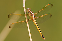 389110001 wild female needhams skimmer dragonfly libellula needhamii perched on stick in bentsen rio grande valley state park texas