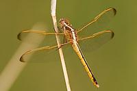 389110001 wild female needhams skimmer dragonfly libellula needhamii perched on stick in bentsen rio grande valley state park texas
