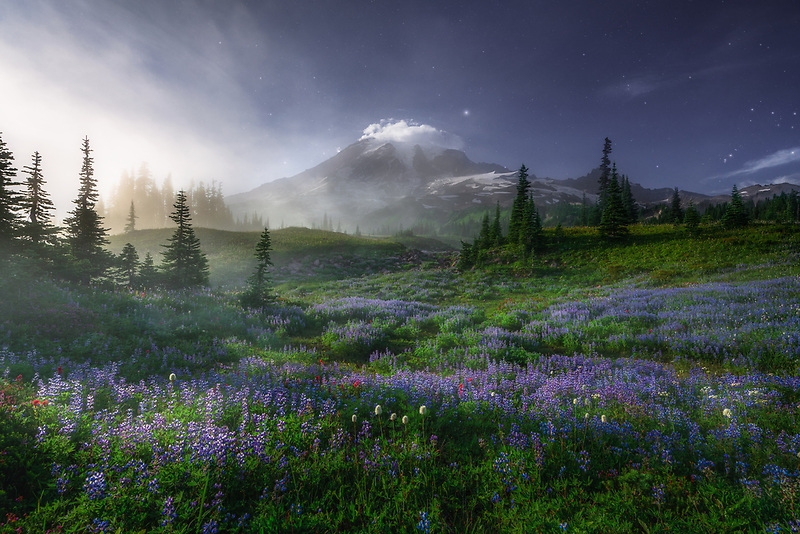 Mount Rainier and field of wild lupine. Mount Rainier National Park, WA